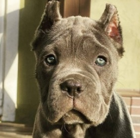 Conclusion For The Best Cane Corso Breeders in the United States