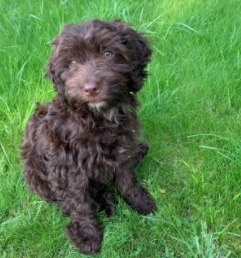 Conclusion For The Best Cockapoo Breeders in New England