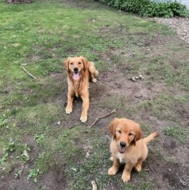 Conclusion For The Best Golden Retriever Breeders in Virginia