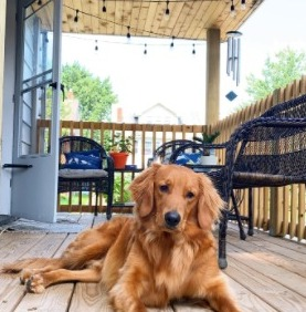 Conclusion For The Best Golden Retriever Rescues in North Carolina