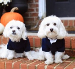 Conclusion For The Best Maltipoo Breeders in Arizona