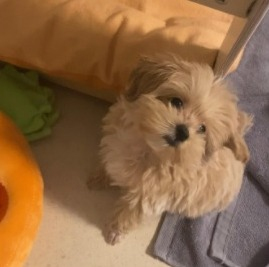 Conclusion For The Best Maltipoo Breeders in New Jersey