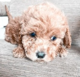 Conclusion For The Teacup Mini Labradoodle Dog Breed Guide