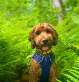 Conclusion For What Makes an Ugly Goldendoodle