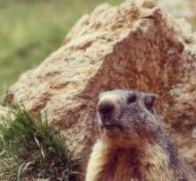 Do Groundhogs Bite