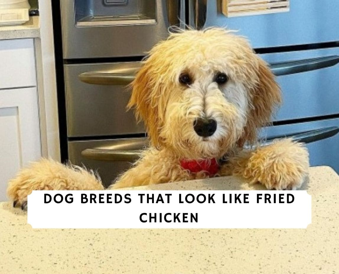 Dog Breeds That Look Like Fried Chicken