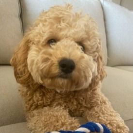 Dog Breeds That Look Like Fried Chicken Cockapoo