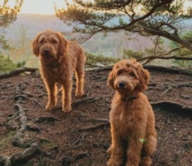 Dog Breeds That Look Like Fried Chicken Irish Doodle