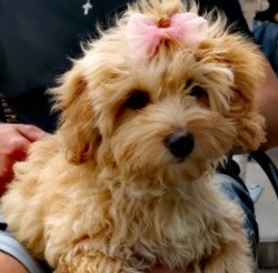 Dog Breeds That Look Like Fried Chicken Maltipoo