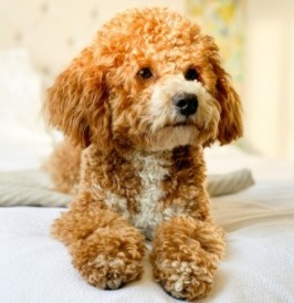 Dog Breeds That Look Like Fried Chicken Poochon