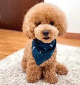 Dog Breeds That Look Like Fried Chicken Poodle