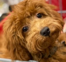 Dog Breeds That Look Like Fried Chicken Schnoodle