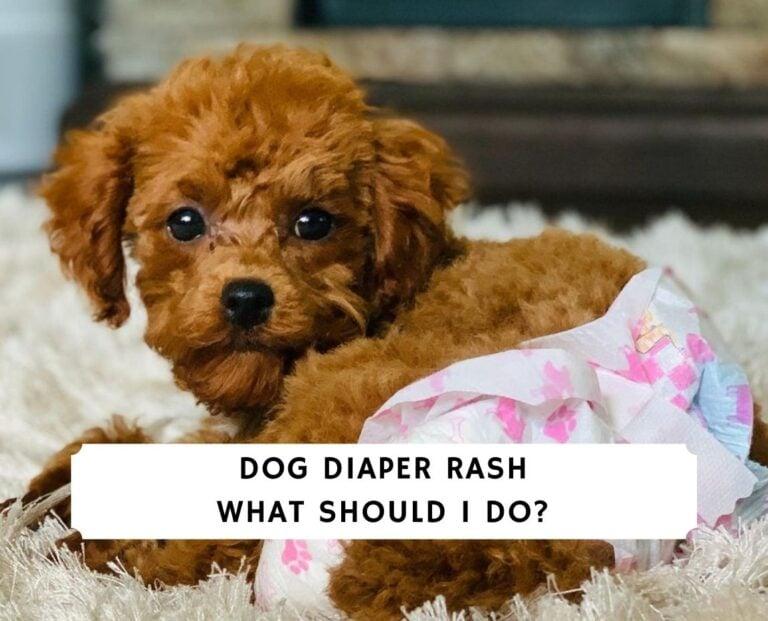 Dog Diaper Rash