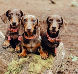 Dog Food Alternatives for Canned Chicken