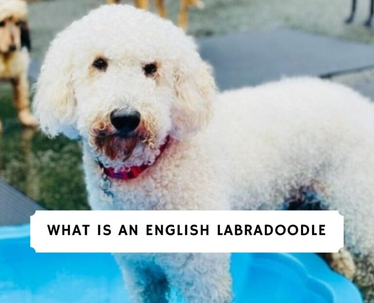 English Labradoodle