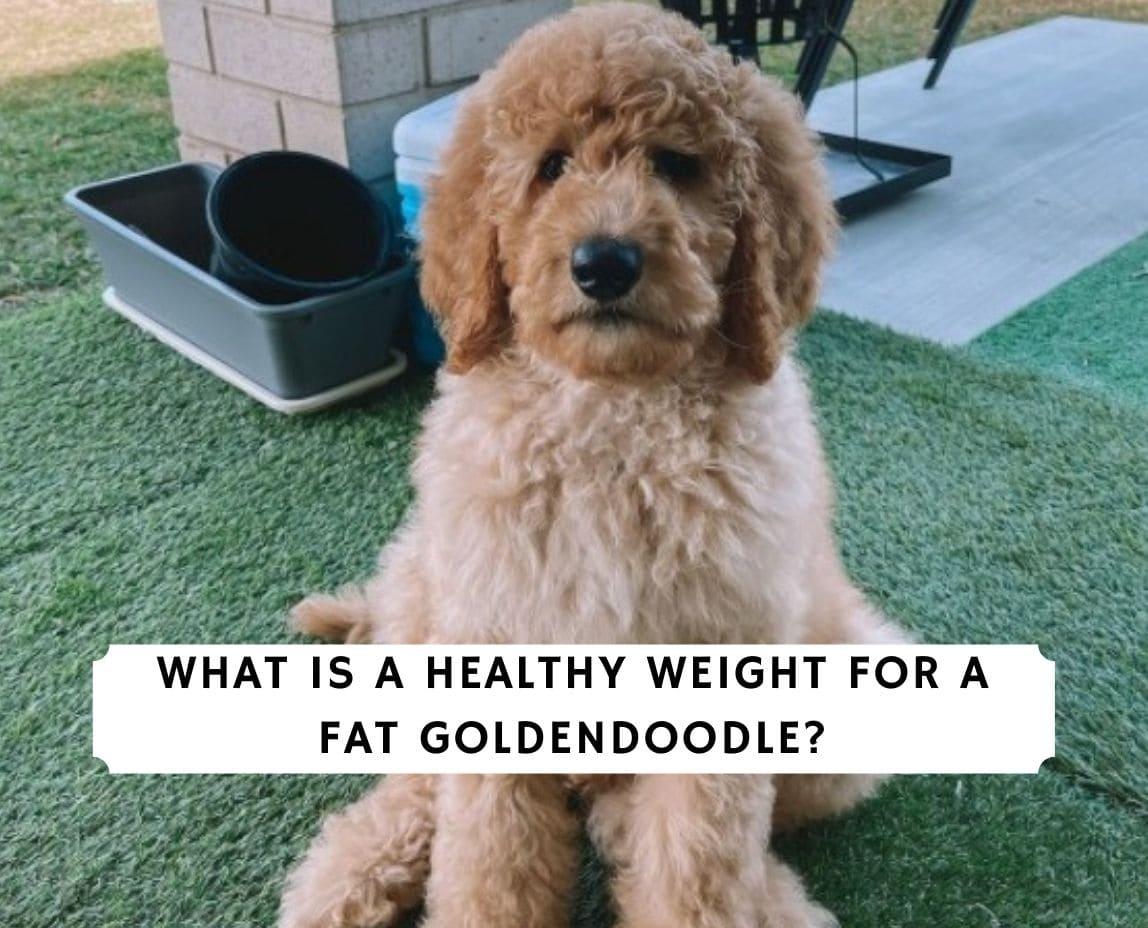 Fat Goldendoodle