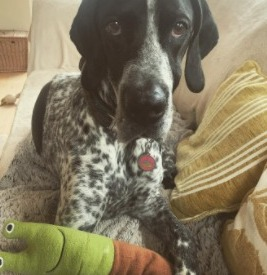 German Shorthair Pointer Puppies for Sale in California