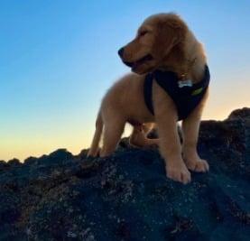 Golden Retriever Rescues For Adoption in North Carolina