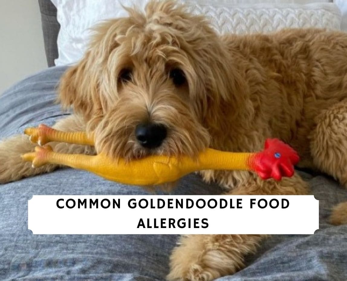 Goldendoodle Food Allergies
