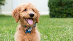 Common Goldendoodle Food Allergies