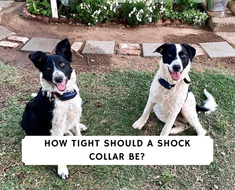 How tight should a shock collar be