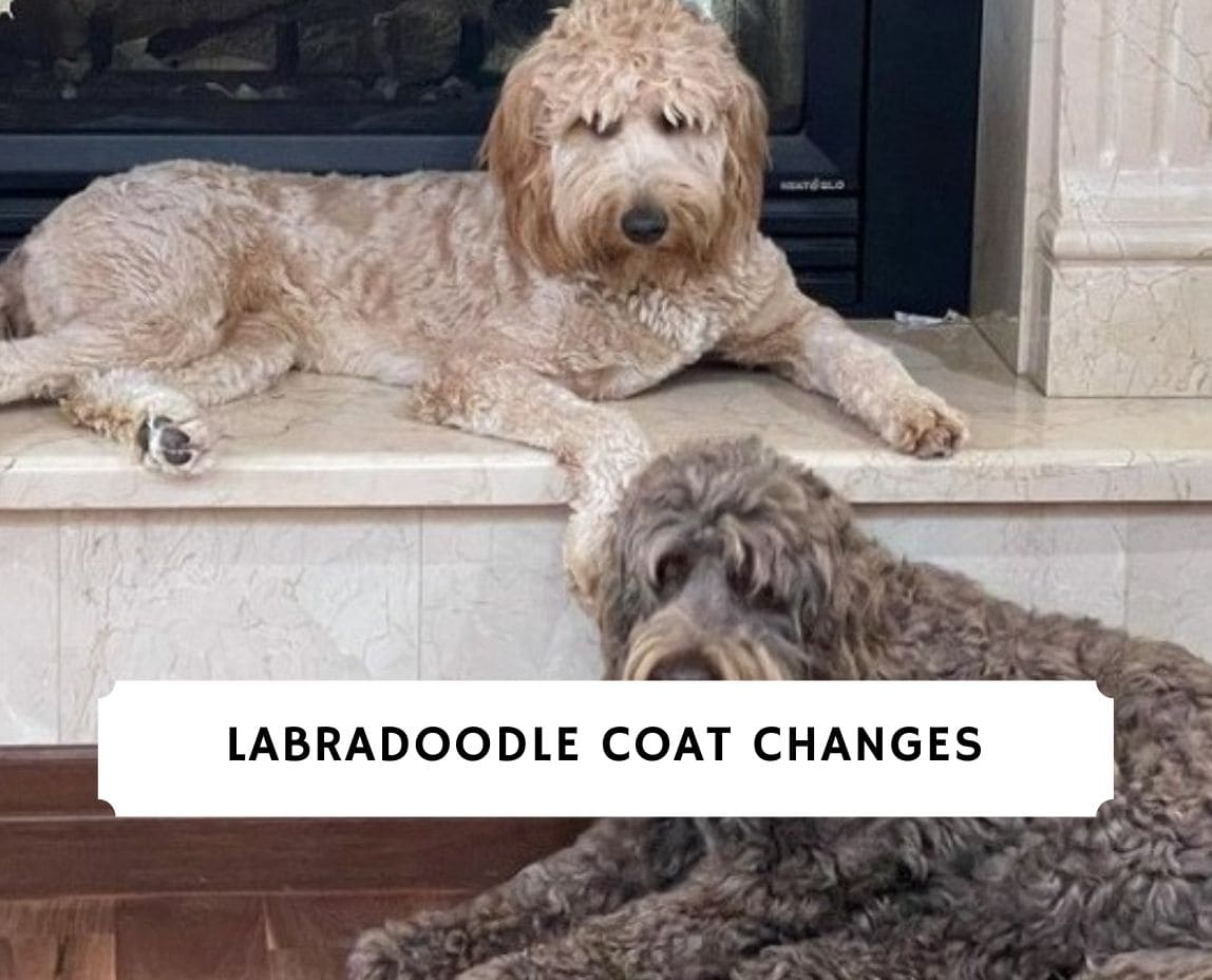 Labradoodle Coat Changes