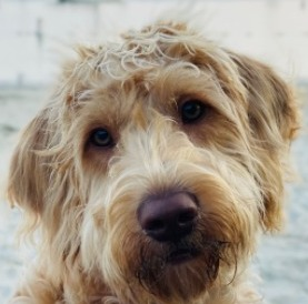 Labradoodle Manners