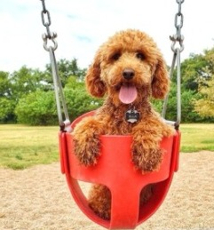 Labradoodle Socialization With Adults and Children