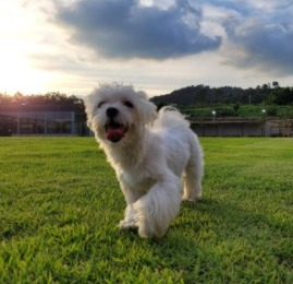 Maltipoo Puppies For Sale in New Jersey