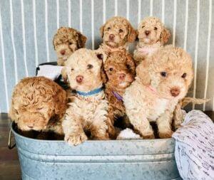 Midwest Doodle Pups