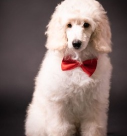 Moyen Poodles Are Easy to Train