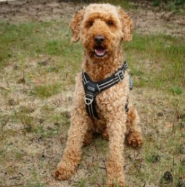 Other Things You Should Know About Standard Goldendoodles
