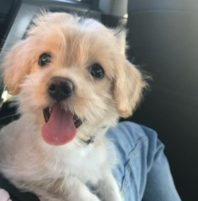 Physical Characteristics of a Morkie Poo