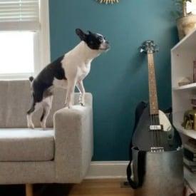 PuppySpot's Boston Terriers for Pennsylvania