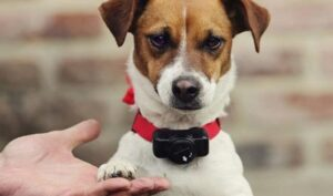 Training a Beagle with a Shock Collar