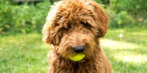Symptoms of Food Allergies in Goldendoodles