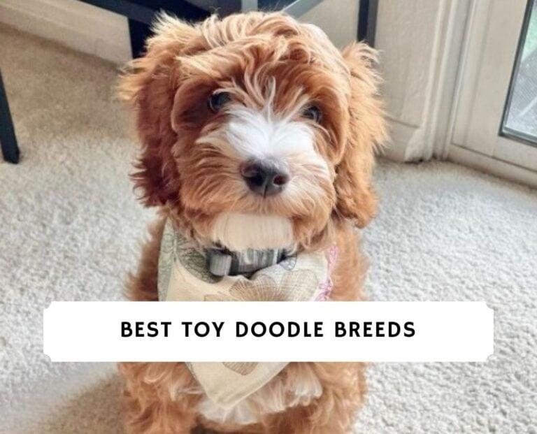 Toy Doodle Breeds