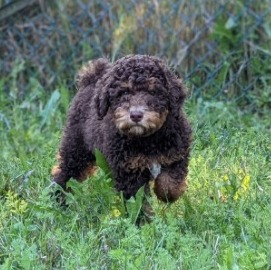 Traits and Characteristics of a Goldendoodle