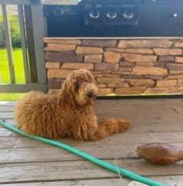 Traits and Characteristics of a Medium Goldendoodle