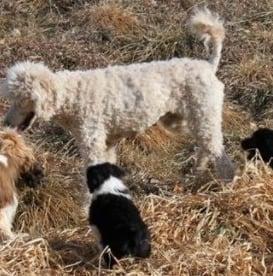 Triple A-BC Pups