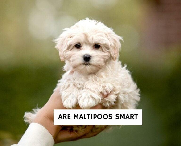Are Maltipoos Smart?