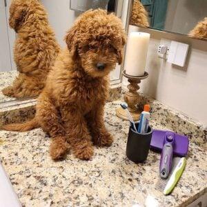 best dog brush for poodles