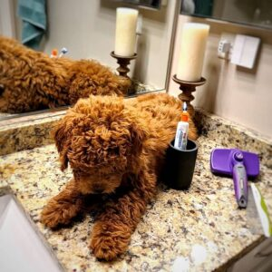 best grooming brush for poodles