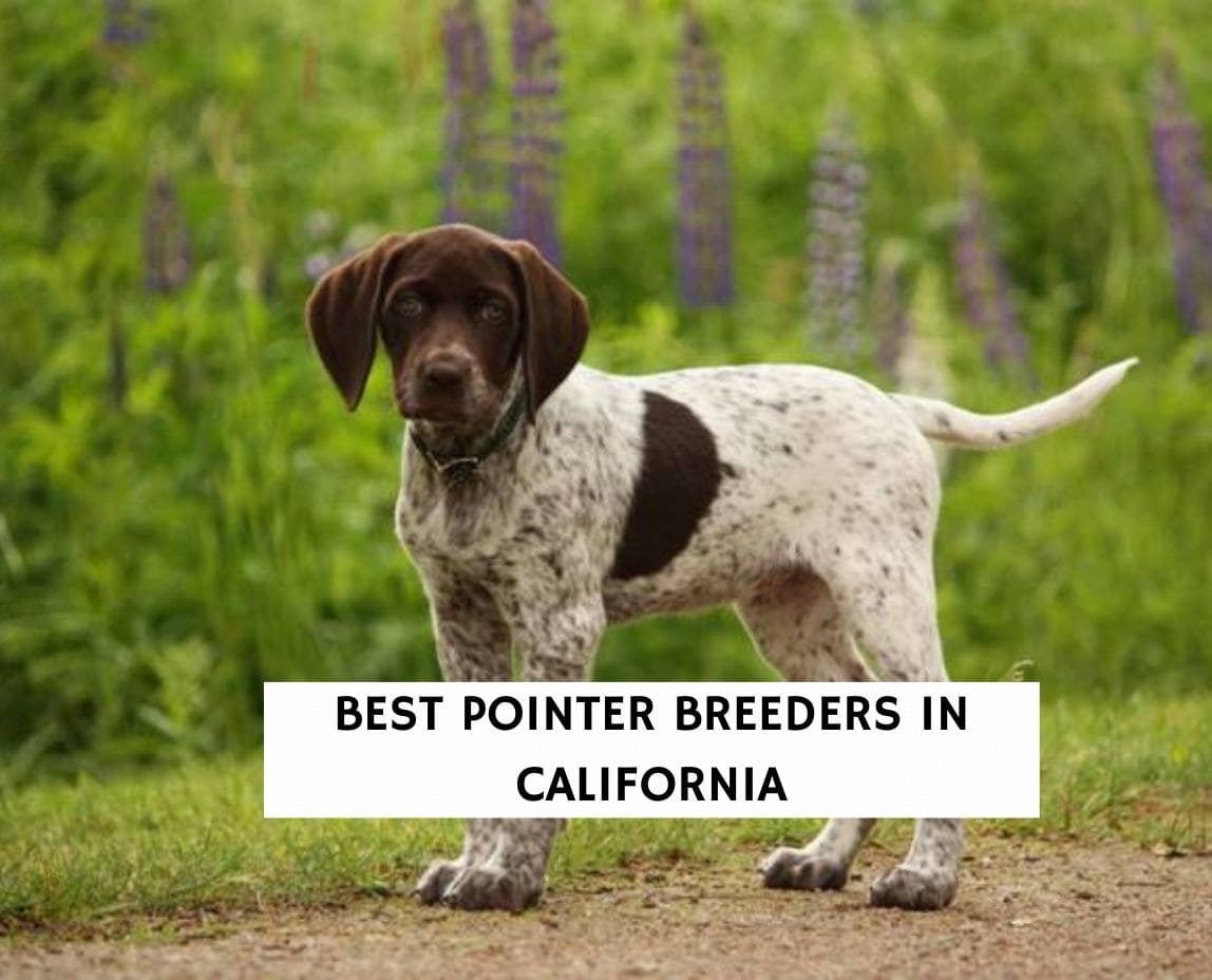 Best Pointer Breeders in California
