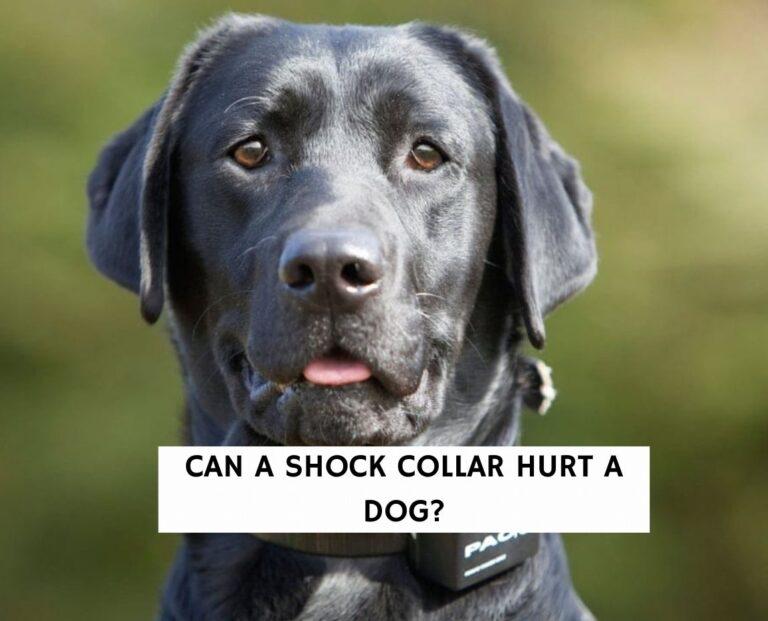 Can a shock collar hurt a dog?