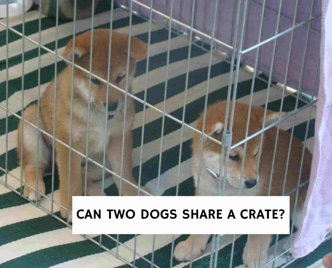 Can Two Dogs Share A Crate?