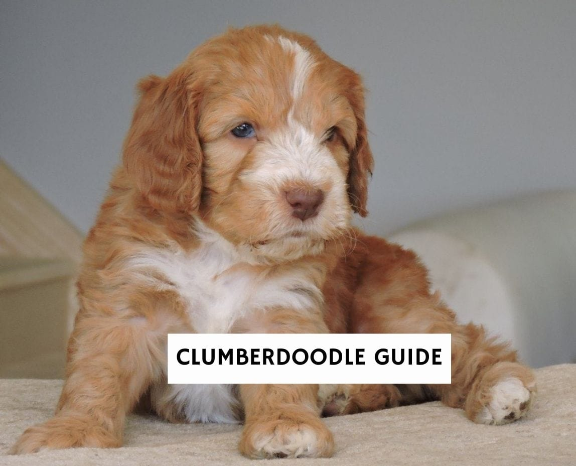 Clumberdoodle Guide