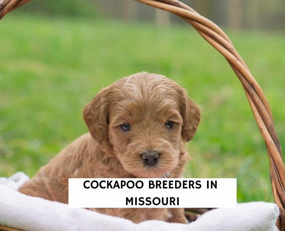 Cockapoo Breeders in Missouri