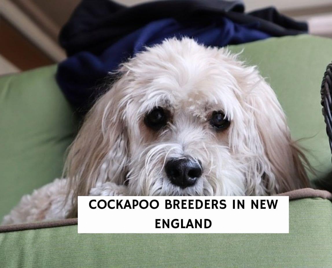 Cockapoo Breeders in New England