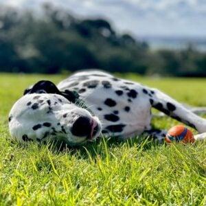 cute Dalmatian dog breed